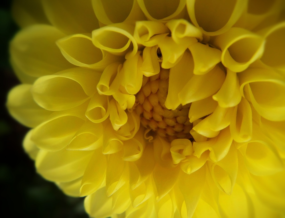 yellowdahlia.jpg