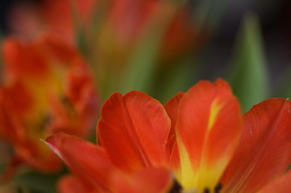 tulipetals.jpg