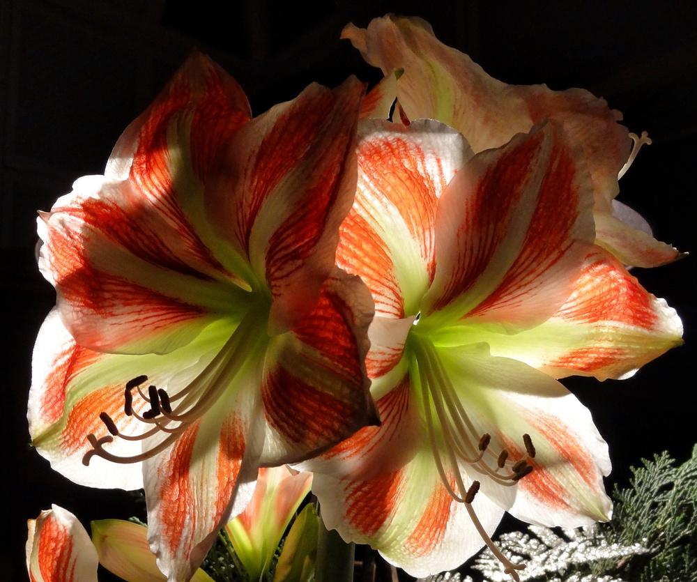 lilybacklight.jpg