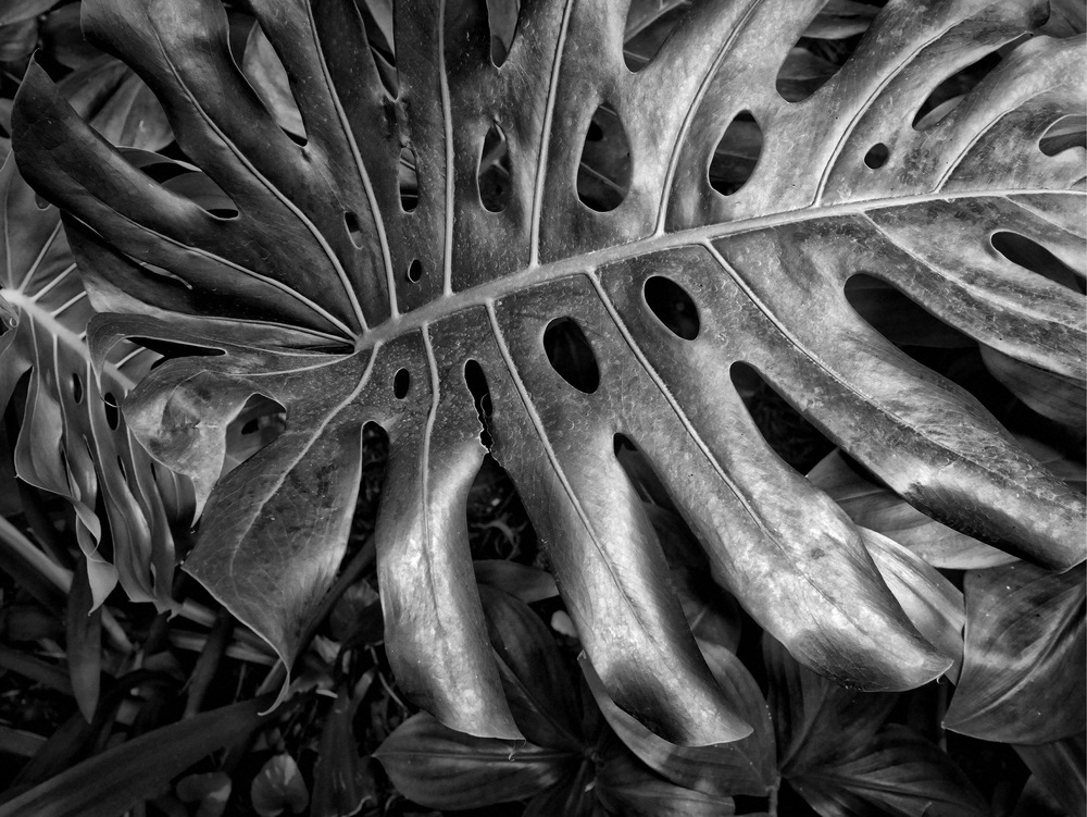 Cheese Plant Monochrome