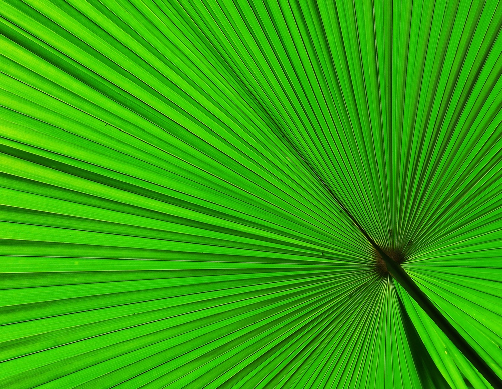 Palmate Palm Frond