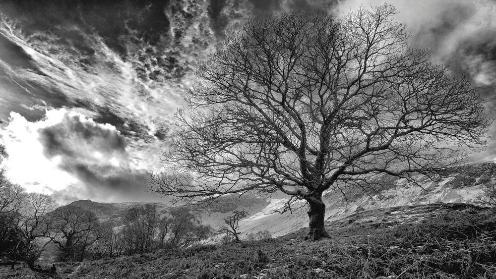 'Charlie's Tree', Derwentwater