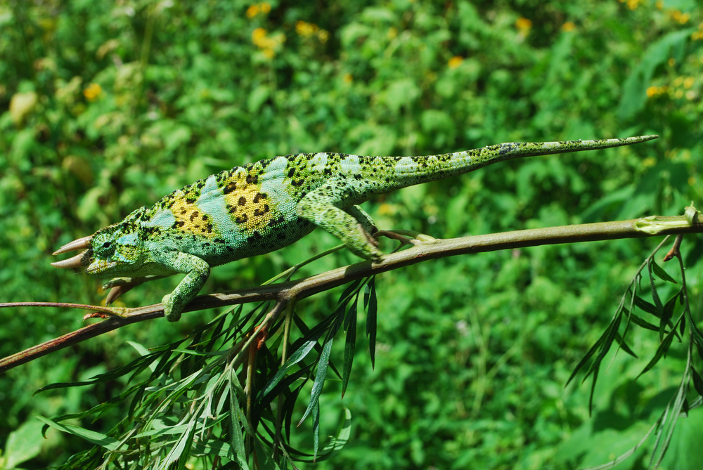 Ruwenzori Three-horned Chameleon ( Chameleo johnstoni ). Kibira National Park, Burundi, 2012.