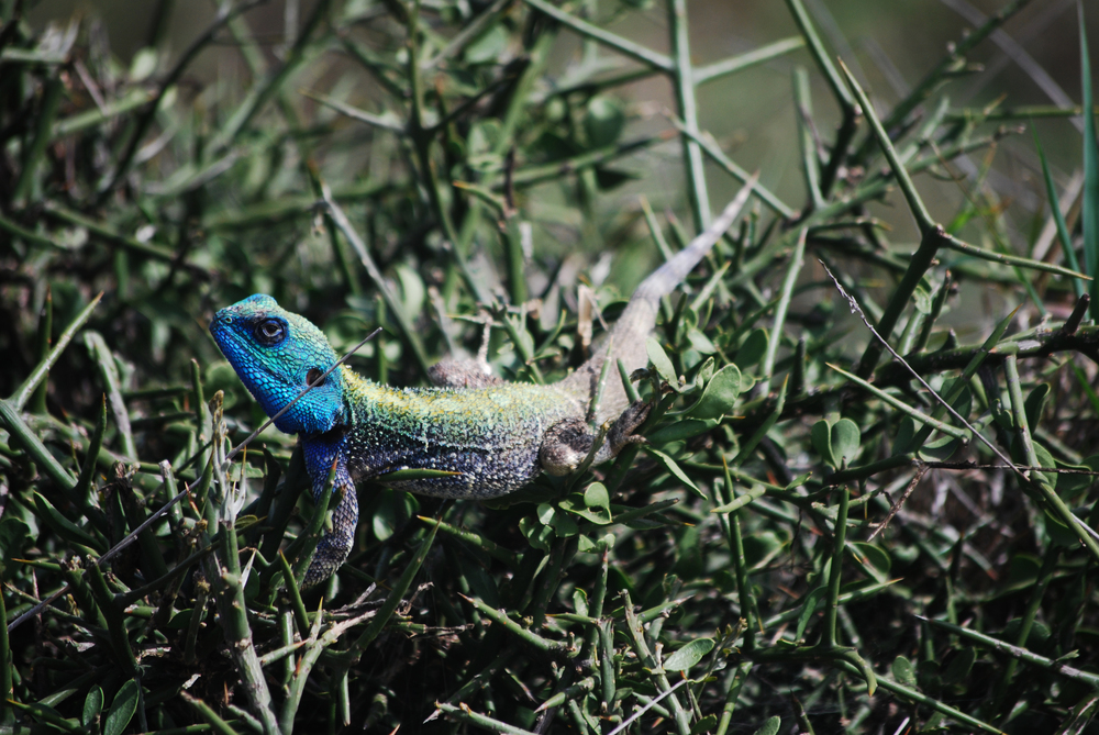 Blue-headed Tree Agama (Acanthocercus atricollis). Nairobi National Park, Kenya, 2013.