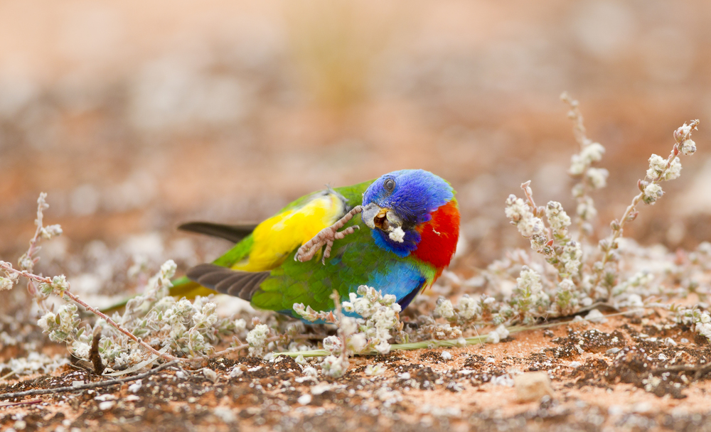 Scarlet-chested Parrot ( Neophema splendida ). Gluepot Reserve, South Australia, 2011. Photo by Tobias Hayashi.