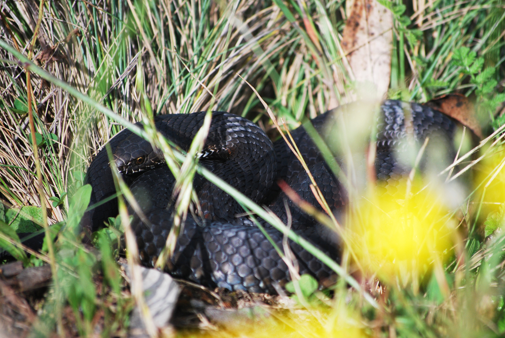 Highlands Copperhead ( Austrelaps ramsayi) . Namadgi National Park, Australian Capital Territory, 2012.