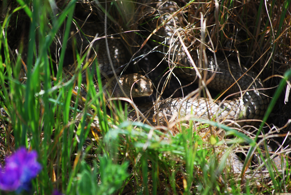 Mating pair of Eastern Brownsnakes ( Pseudonaja textili s). Near Burra, South Australia, 2011.