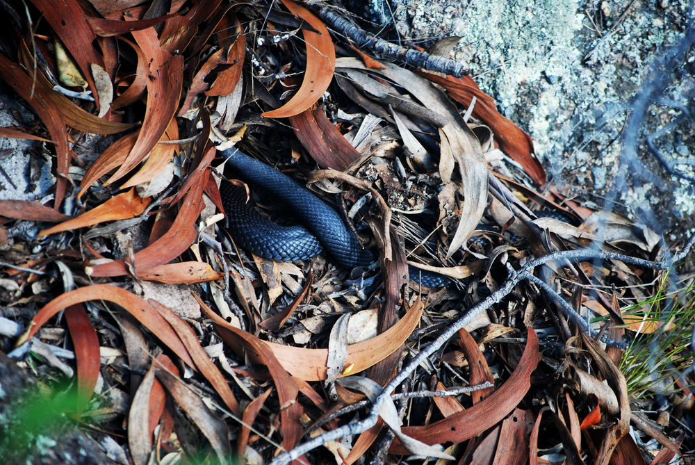 This Blue-bellied Blacksnake (Pseudechis guttatus) was at the bottom of a steep, narrow ravine. Hunter Valley, New South Wales, 2012.