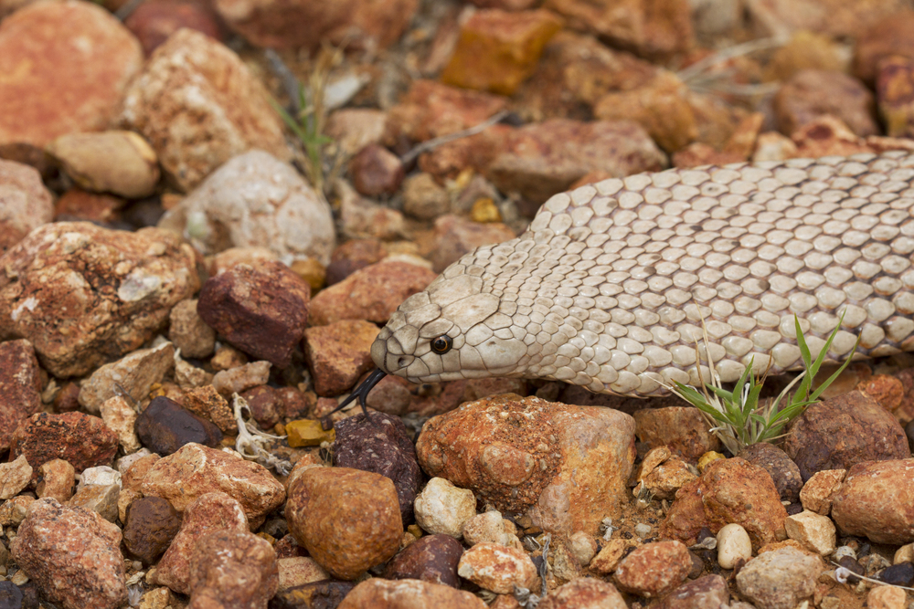 Strap-snouted Brownsnake ( Pseudonaja aspidorhyncha ). Anna Creek Station, South Australia, 2011. Photo by Angus Kennedy.