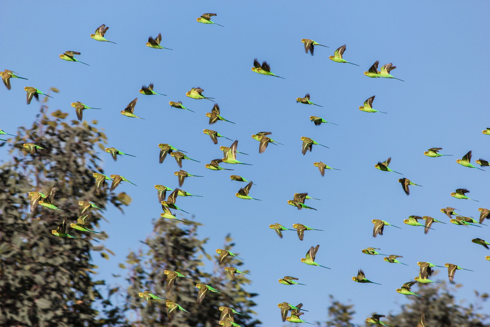 A flock of budgies ( Melopsittacus undulatus ) coming in to drink. Photo by Rebecca Sullivan.