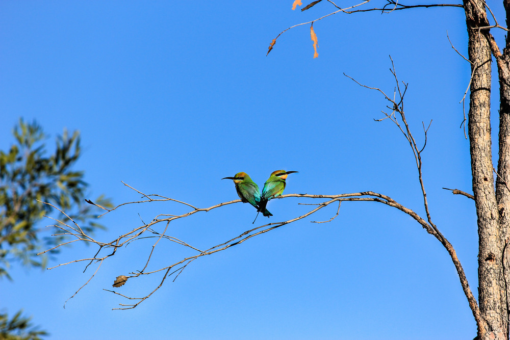 Rainbow Bee-eaters ( Merops ornatus ). Photo by Rebecca Sullivan.