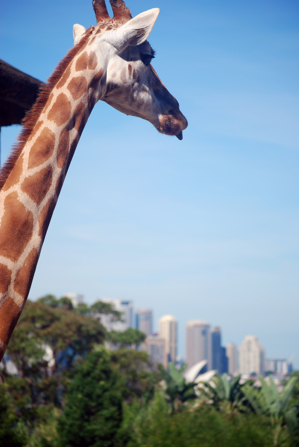 Giraffe mocking the Sydney skyline. Sydney, New South Wales, 2012.