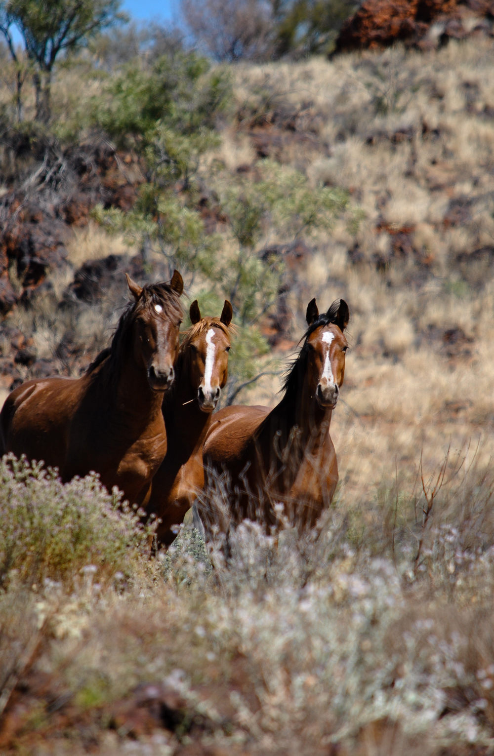 Brumbies. Henbury Station, Northern Territory, 2012. From  this post .