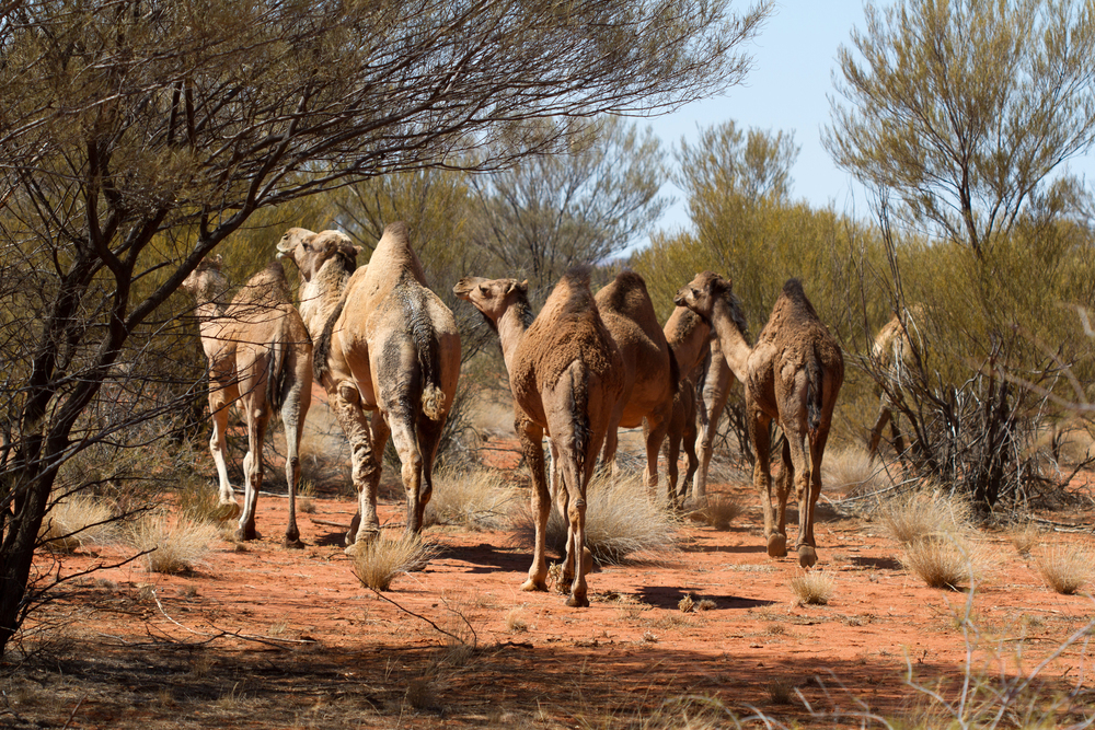 A herd of feral Australian camels. Mulga Park Station, Northern Territory, 2012. Photo by Angus Kennedy.