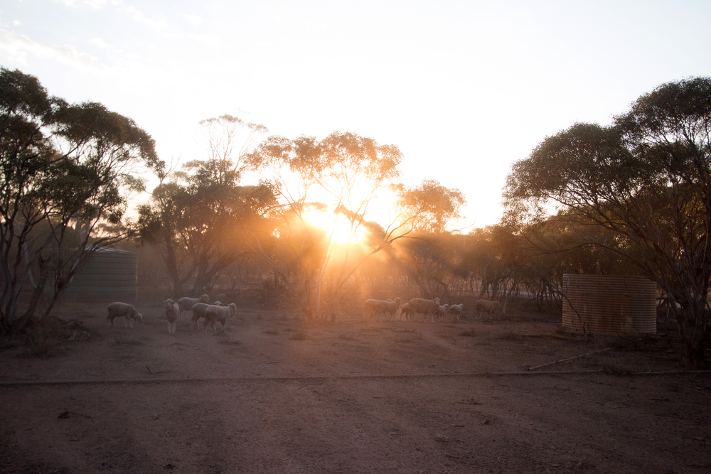 Sunrise through the sheep. Yardea Station, South Australia, 2012. Photo by Angus Kennedy.