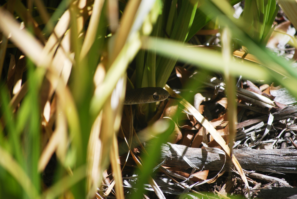 The young brown snake found temporary shelter in a bush near our building.
