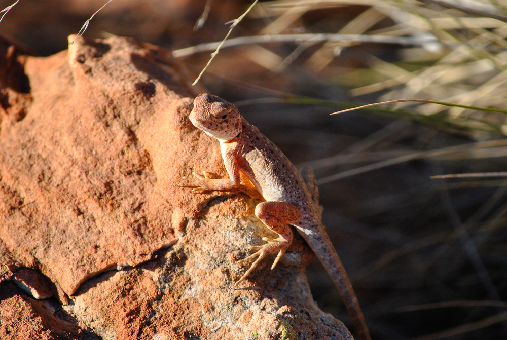 A young male ring-tailed dragon ( Ctenophorus caudicintus ). Watarrka National Park, Northern Territory, 2012.