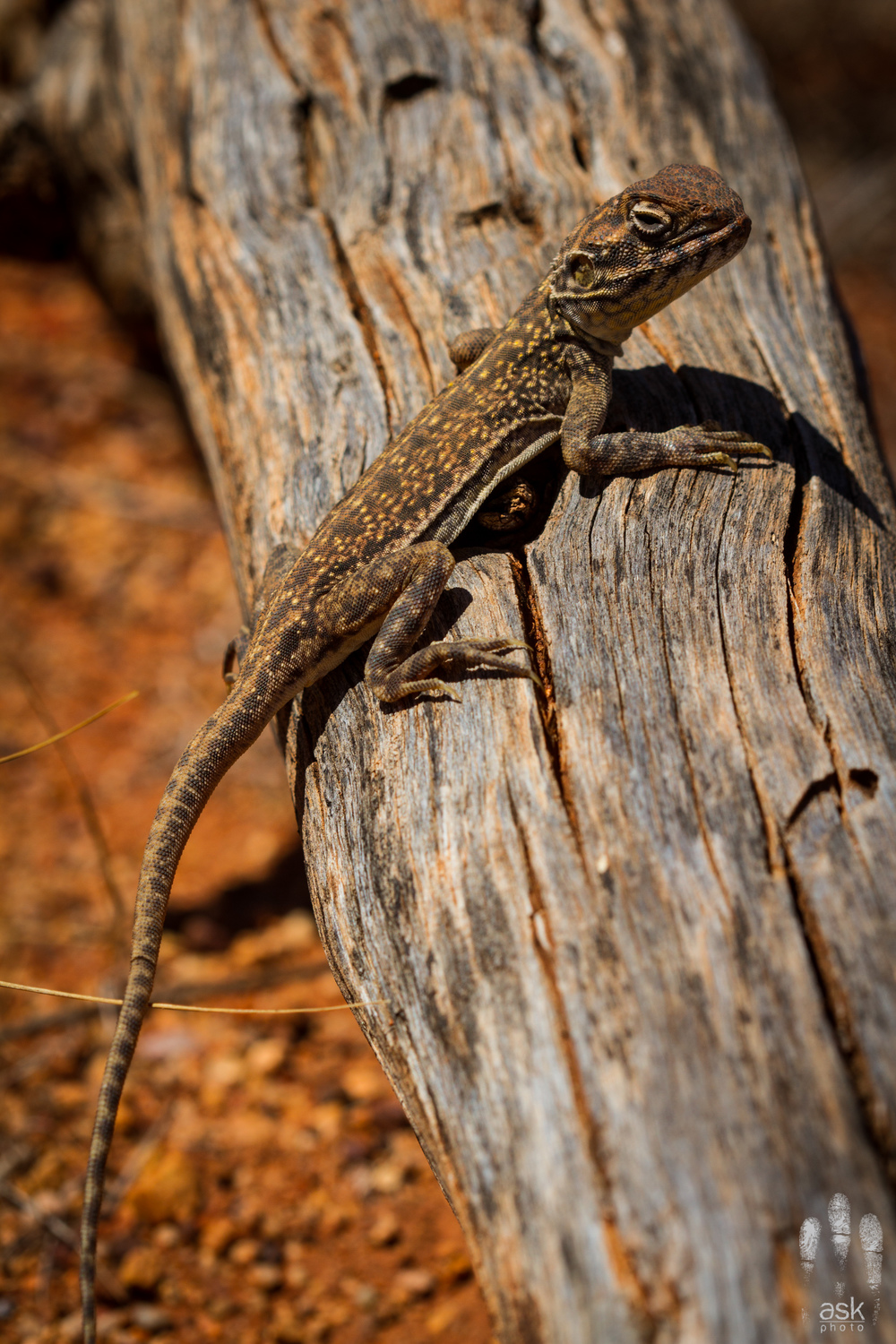 Female Central Netted Dragon ( Ctenophorus nuchalis ). Uluru, Northern Territory, 2012. Photo by Angus Kennedy.