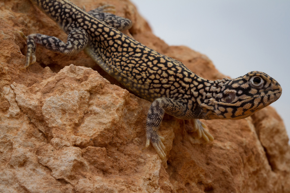 Male Central Netted Dragon ( Ctenophorus nuchalis ). Roxby Downs, South Australia, 2011. Photo by Angus Kennedy.