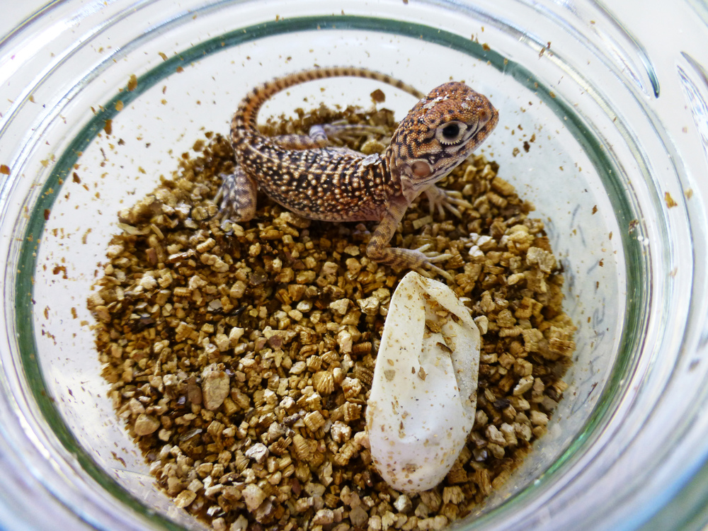 A hatchling central netted dragon that was bred here at the ANU. Central netted dragons are easy to breed and make excellent pets. Photo by Lisa Schwanz.
