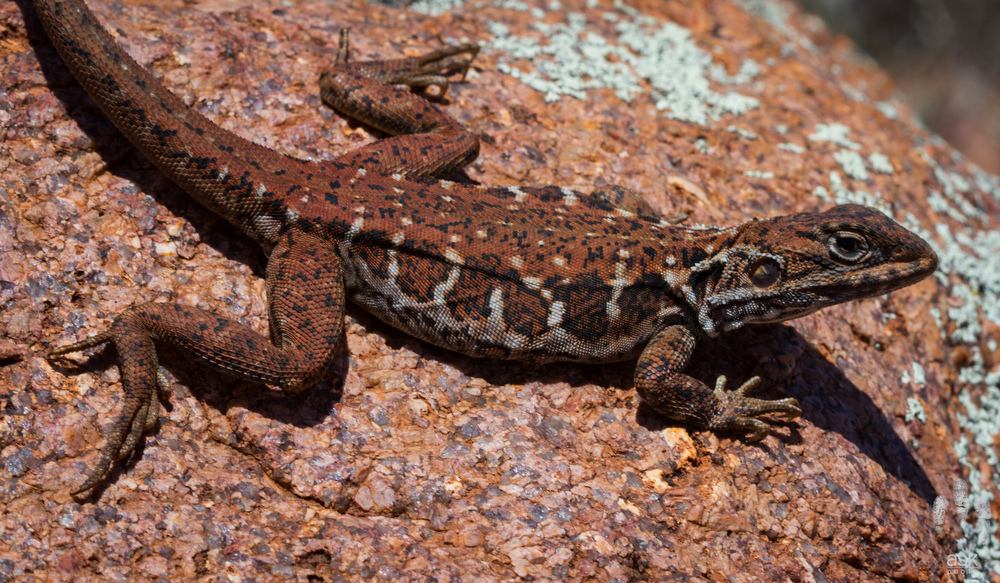 Female Peninsula Dragon (Ctenophorus fionni). Kokatha Station, South Australia, 2012. Photo by Angus Kennedy.