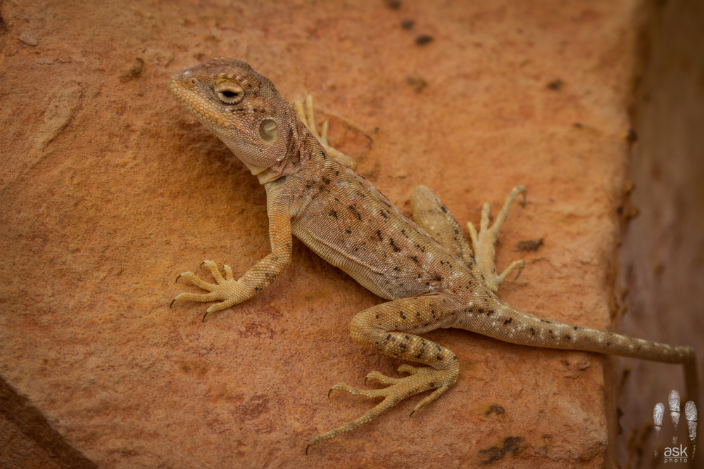 Female Ochre Dragon (Ctenophorus tjantjalka). Anna Creek Station, South Australia, 2012. Photo by Angus Kennedy.