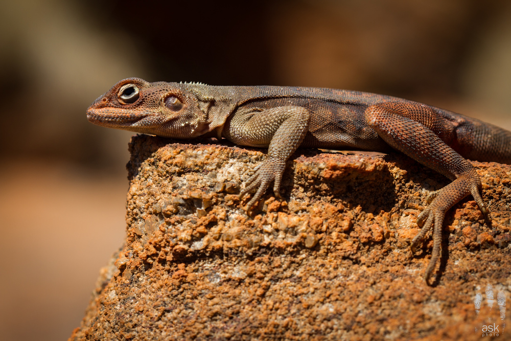 Male Rusty Dragon (Ctenophorus rufescens). Victory Downs Station, Northern Territory, 2012. Photo by Angus Kennedy.