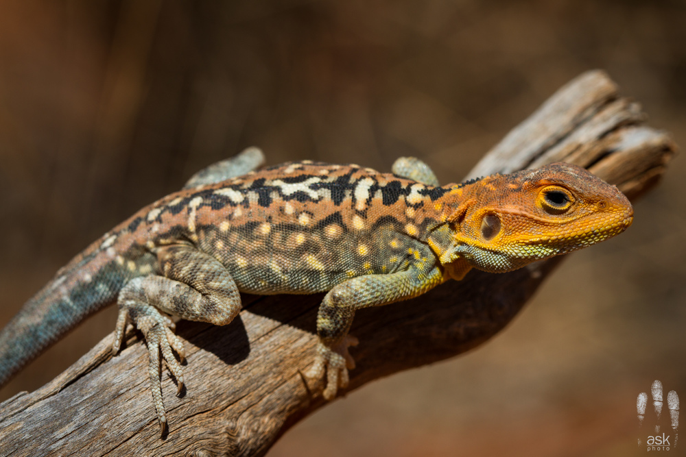 Male painted dragon,  Ctenophorus pictus . Turlga Station, South Australia, 2012. Photo by Angus Kennedy.