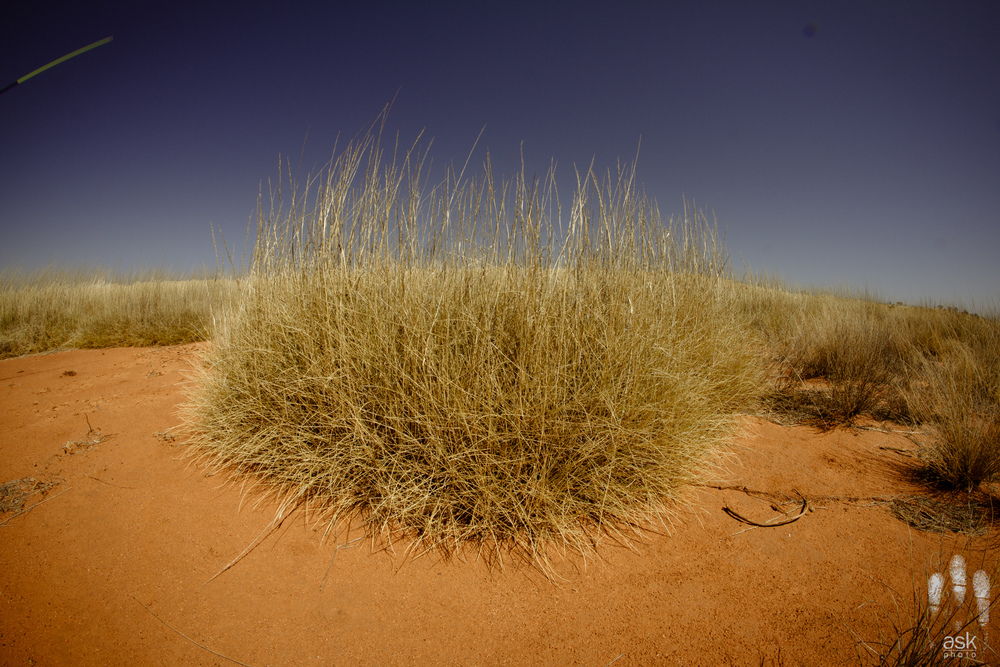 The immense spikiness of a spinifex plant. Mulga Park Station, Northern Territory, 2012. Photo by Angus Kennedy.