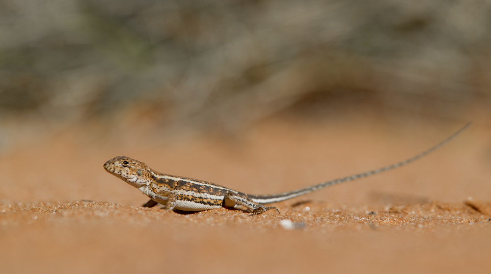 A female mallee military dragon ( Ctenophorus fordi ). Gluepot Reserve, South Australia, 2011. Photo by Tobias Hayashi.