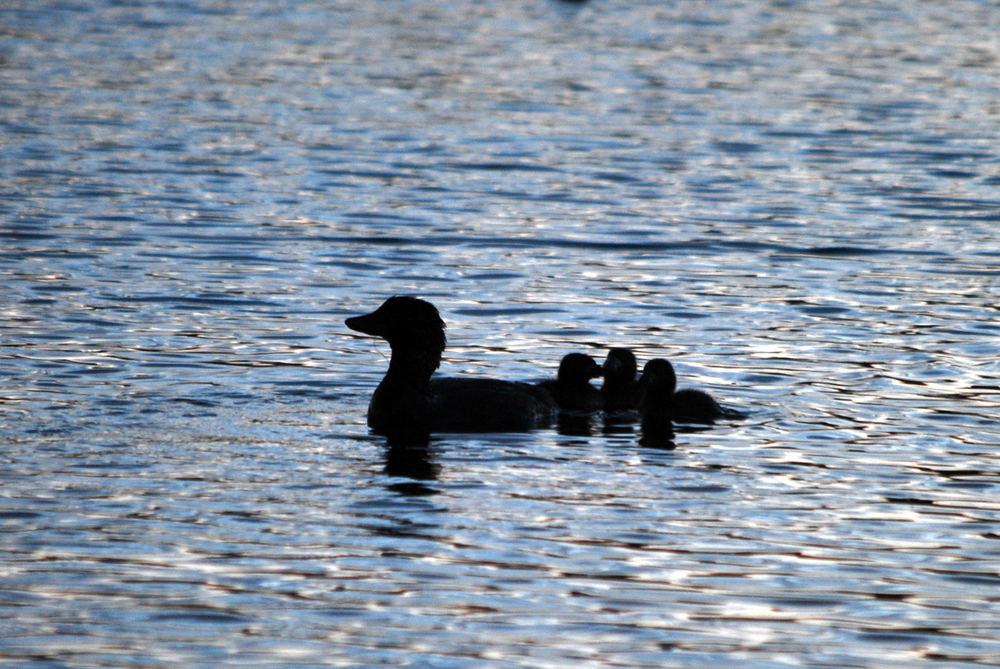 We found the mother musk duck with her ducklings just after sunset, so all I was able to get were moody silhouette shots, but the adorableness still comes through!