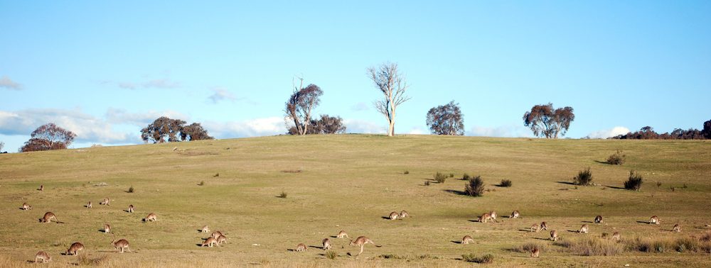 Eastern Grey Kangaroos. Tidbinbilla Nature Reserve, Australian Capital Territory, 2014.