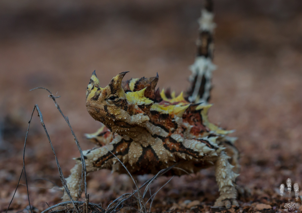 Unlike most dragons, the thorny devil ambles slowly. Thurlga Station, South Australia, 2012. Photo by Angus Kennedy.