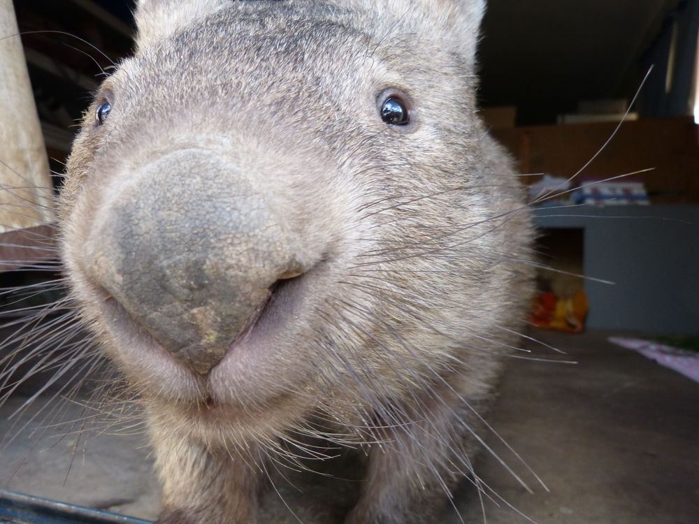 Dawn the elderly wombat is living out the rest of her days at the  Sleepy Burrows Wombat Sanctuary . Gundaroo, New South Wales, 2015. From  this post .