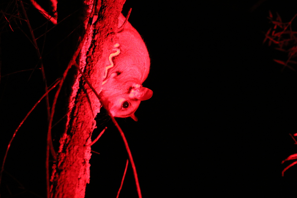 A sugar glider is illuminated in red instead of white light so as not to disturb it. Mount Hypipamee National Park, Queensland, 2015. Photo by David Hamilton. From  this post .