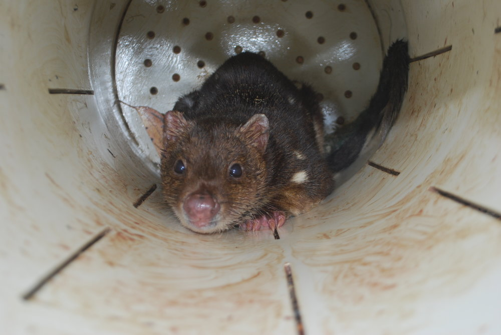 Dave sometimes catches spectacular tiger quolls, like this one, in traps set for devils.