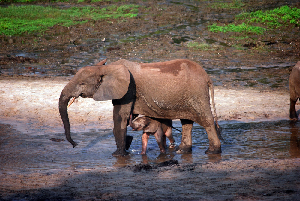 A newborn (still pink) baby elephant finds safety and comfort under her mother's massive body.