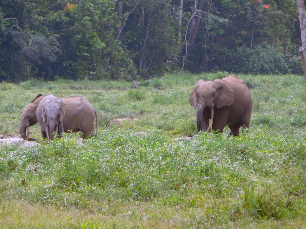 African Forest Elephants digging for mud in Bai Hokou.