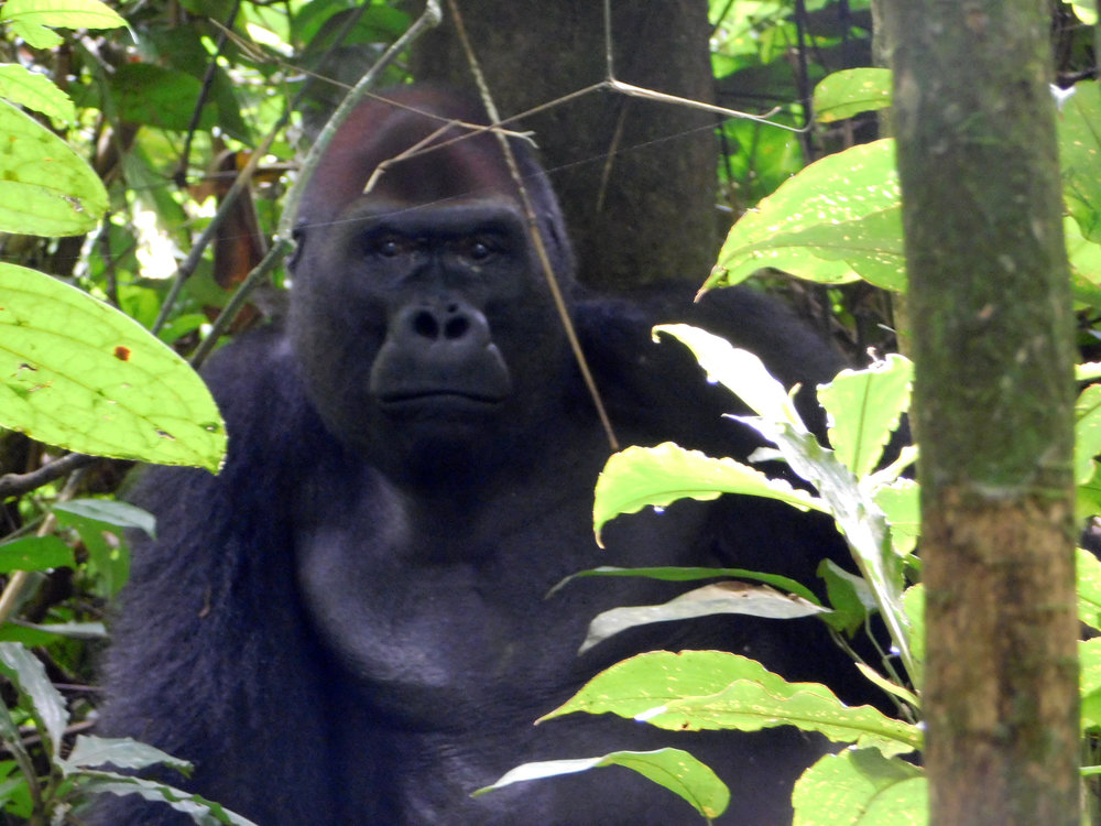 Mongambe, the silverback of one of the two habituated gorilla groups tourists can visit, near Bai Hokou.