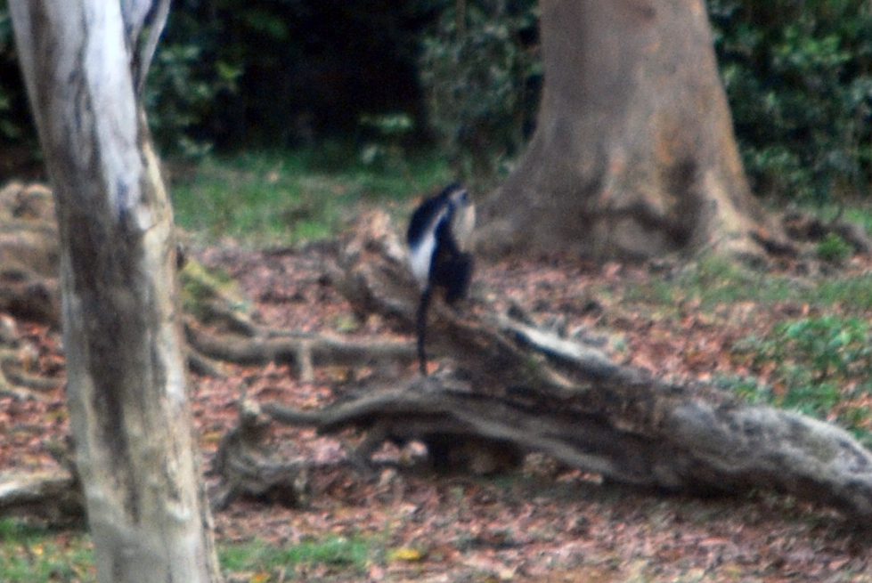 A blurry, heavily cropped picture of a western guereza at Dzanga Bai.