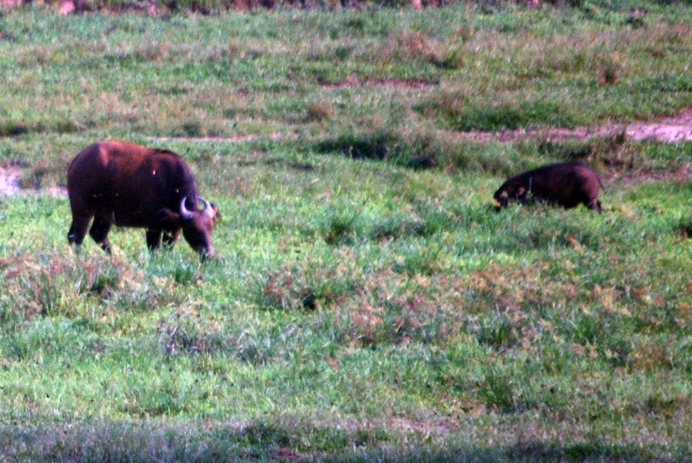 Forest buffalo (left) and giant forest hog (right) hanging out together at Dzanga Bai.