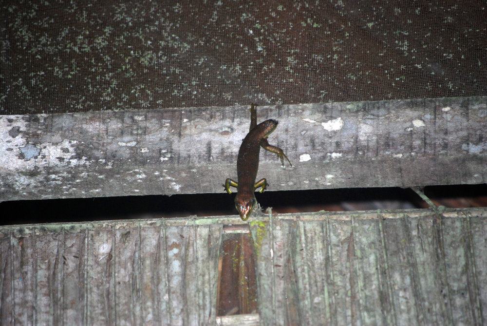 A Makolowodé's skink hanging above the door to my cabin. I took a bunch of pictures of this guy, and he never moved. Later, I realized he was dead.
