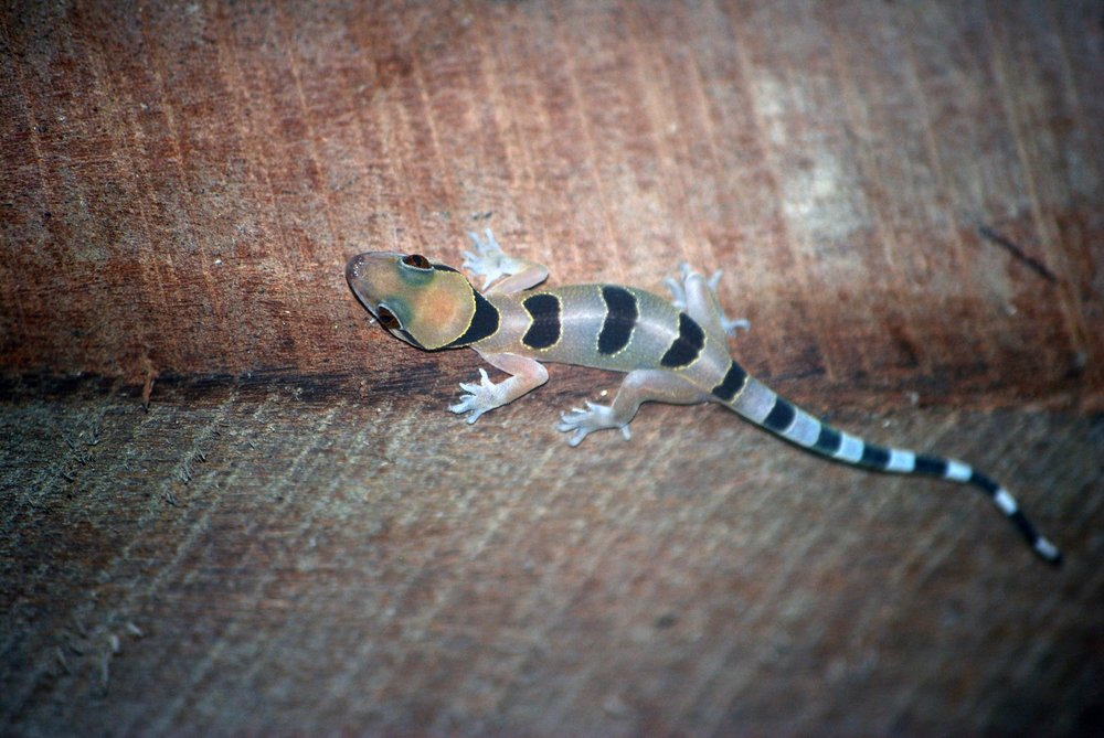 A coalescent house gecko in my cabin at Sangha Lodge.