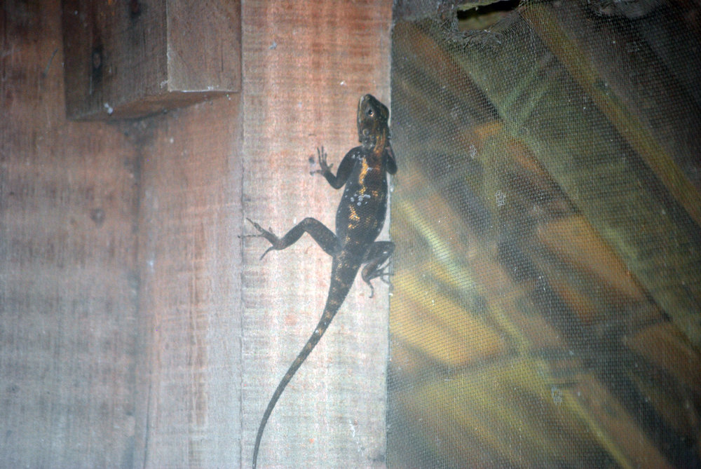 2. I chased this agamid around my cabin at Sangha Lodge trying to get decent pictures. Something about this one makes me think it's a male, but I still have no idea what species it could be.