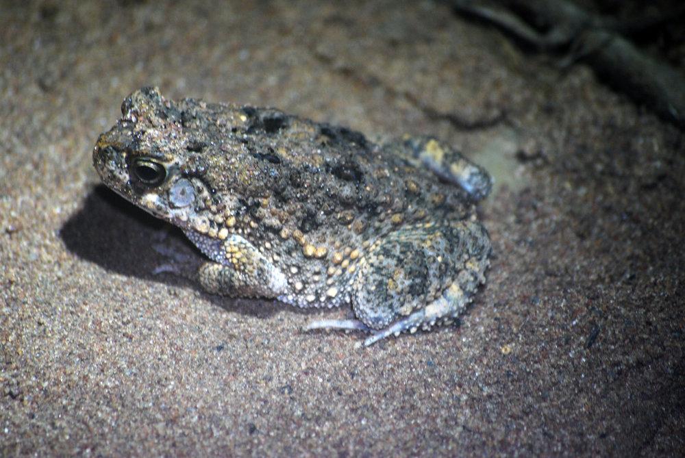 Oban Toad