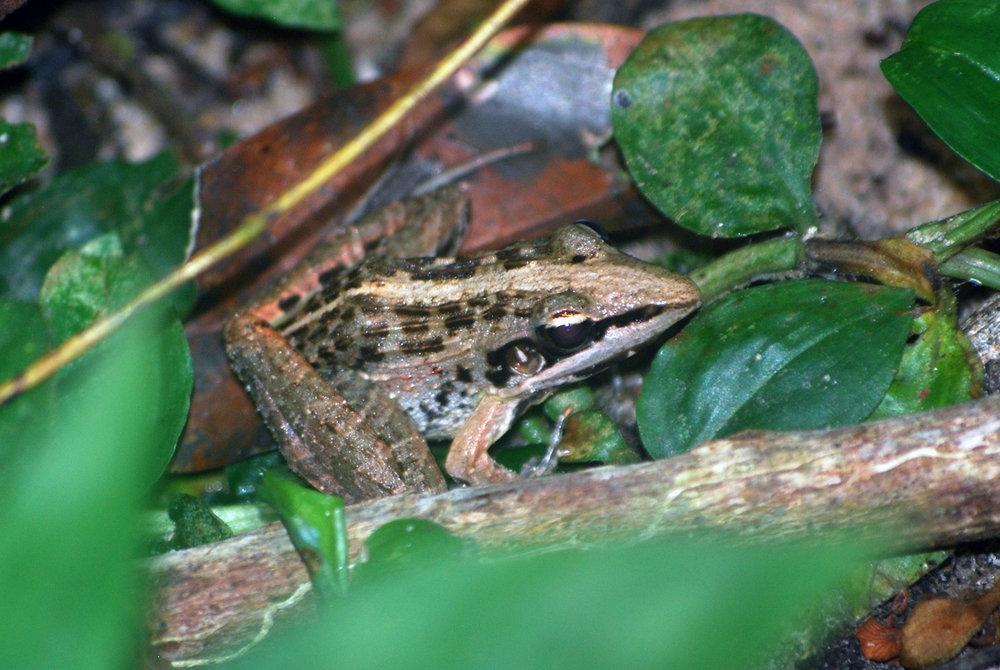 Perret's Grassland Frog