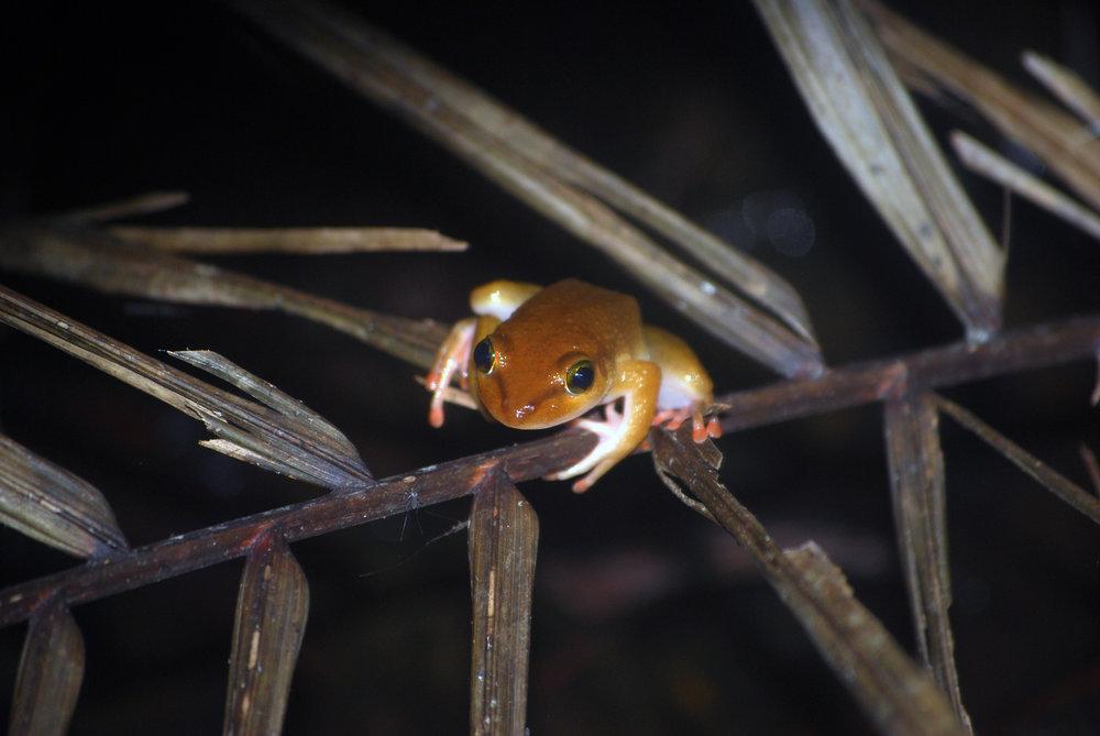 Greshoff's Wax Frog