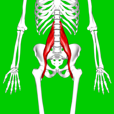 375px-Psoas_major_muscle11.png