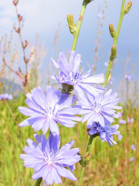 blue purple chicory weed