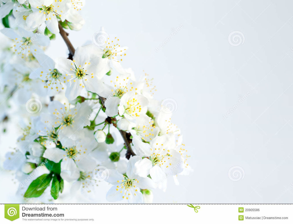 spring-blossoms-isolated-white-background-20905586.jpg